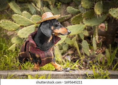 Adorable dachshund in national mexican costume with straw sombrero hat sits on grass in thicket of prickly pear cactus. Fashionable carnival outfits for pets. Adventure dog travels to exotic country