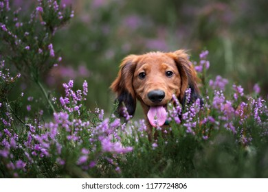 adorable dachshund puppy in heather flowers