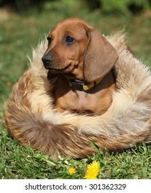 Adorable Dachshund puppy sitting in the garden alone