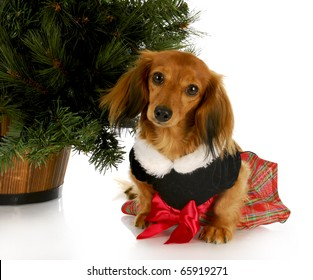 adorable dachshund puppy wearing party dress sitting under christmas tree on white background