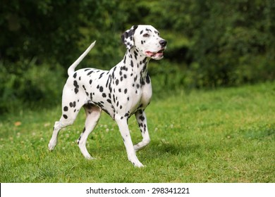 adorable dalmatian dog outdoors in summer