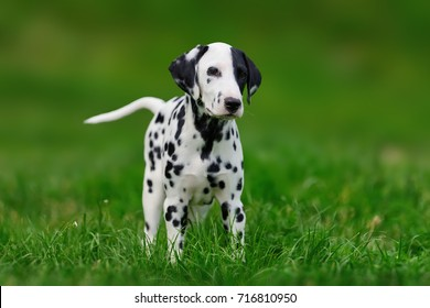 Adorable dalmatian dog outdoors in summer. Active cute dalmatian on green meadow