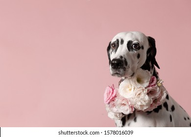 Adorable dalmatian dog with wreath on pink background. Dog portrait with floral crown. I love you. Happy Valentines Day concept