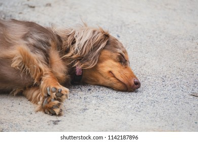 Adorable dapple dachshund, or longhaired weiner dog, napping peacefully outside.