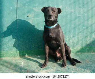 An adorable dark brown American pitbull terrier sitting on a concrete floor