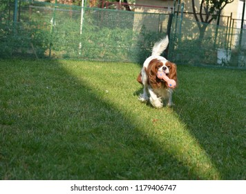 Adorable dog - Cavalier King Charles Spaniel - joyfully running with a toy on a garden lawn