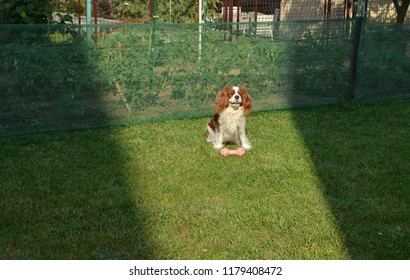 Adorable dog - Cavalier King Charles Spaniel - with a toy sitting on a garden lawn