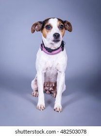 Adorable dog photo taken in studio against background.