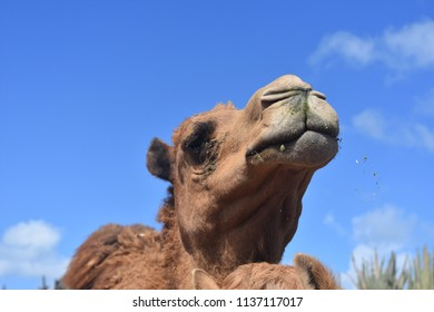 Adorable dromedary camel with blue skies in the desert.