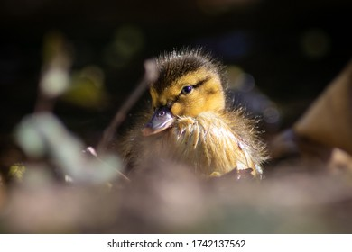 Adorable duckling close up image