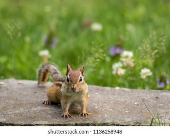 Adorable Eastern Chipmunk (Tamias Striatus) stands on flat rock surrounded by summer grass and flowers