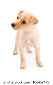 An adorable eight week old cream color puppy isolated on white and looking to the side