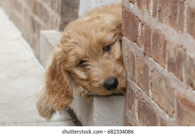 An adorable eleven week old Goldendoodle with bright eyes peeks out from a doorway in a brick wall