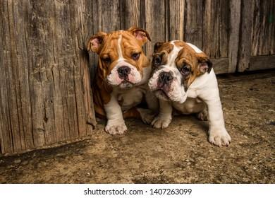 Adorable English Bulldog Puppies Playing Outdoors