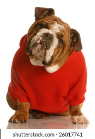 adorable english bulldog sitting wearing red sweater isolated on white background