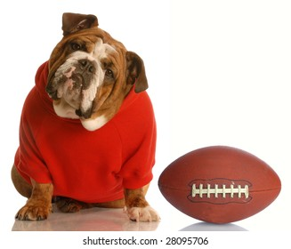 adorable english bulldog wearing sweatsuit with football isolated on white background