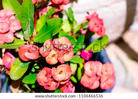 Adorable euphorbia succulent plant pink flowers stock photo edit adorable euphorbia succulent plant with pink flowers in flower pot summer garden on sunny day mightylinksfo