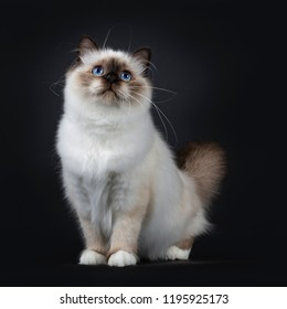 Adorable excellent seal point Sacred Birman cat kitten standing / sitting front view looking up, isolated on black background