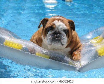 Adorable Family Pet Bull Dog on Vacation in Pet Friendly Hotel Pool