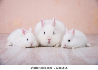 Adorable family of white decorative rabbits