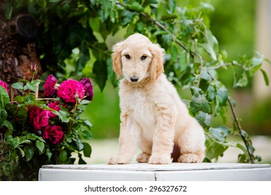 adorable fawn afghan hound puppy sitting outdoors