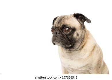 Adorable Fawn Pug Dog on a White Background