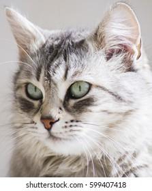 adorable female cat, grey siberian breed