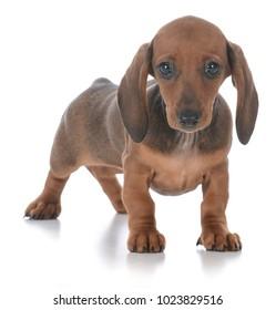 adorable female dachshund puppy on white background