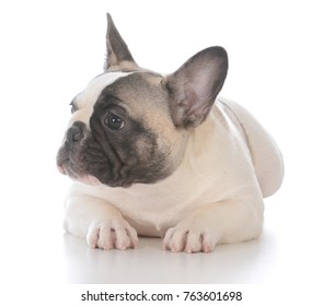 adorable female french bulldog puppy laying down on white background