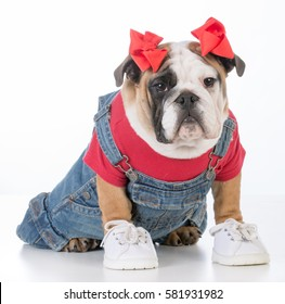 adorable female puppy wearing jean overalls and red shirt