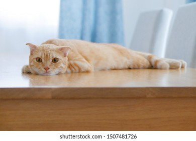 An adorable female Scottish Fold cat laying down on the table.