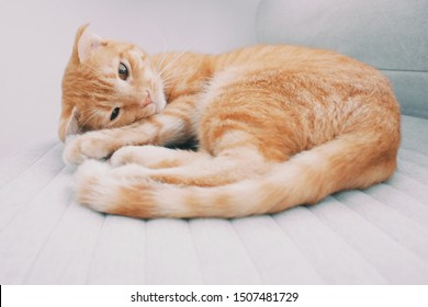 An adorable female Scottish Fold cat laying down on couch.