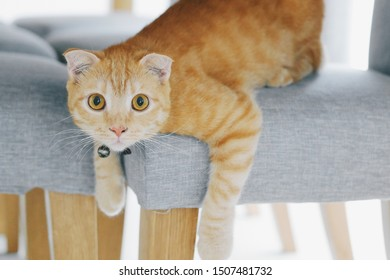 An adorable female Scottish Fold cat crouching on a chair with the curious face.