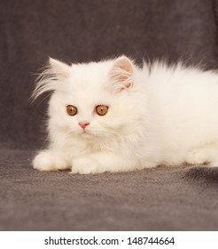 Adorable fluffy clean white Persian kitten