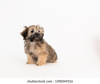 Adorable Fluffy Little Puppy of Mixed Breed