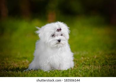 adorable fluffy maltese dog puppy