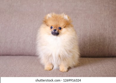 adorable fluffy pomeranian puppy sitting on the couch