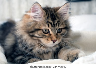 Adorable fluffy purebred Siberian kitten, brown, black and white. Siberian cats are thought to cause fewer allergies in people with allergies. Concepts of family pet, allergy, hypoallergenic