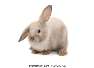 Adorable fluffy rabbit isolated on white background, portrait of cute bunny pet animal.