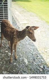 an adorable formosan sambar deer looking straight into the camera