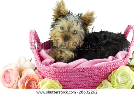 Adorable Four Month Old Yorkie Puppy Stock Photo Edit Now 28632262