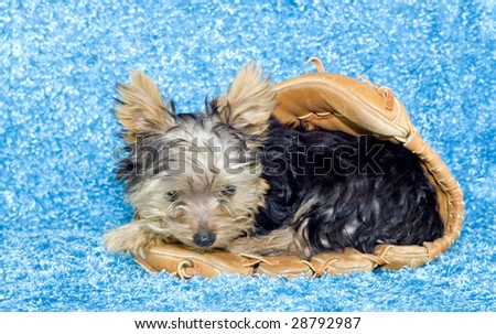 Adorable Four Month Old Yorkie Puppy Stock Photo Edit Now 28792987