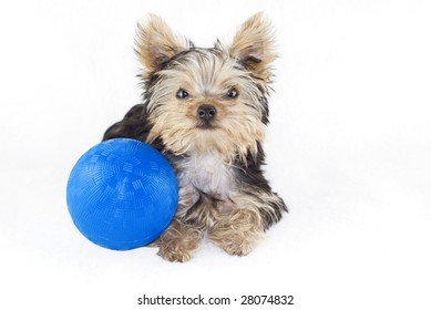 Amazing Cairn Terrier Ball Adorable Dog - adorable-four-month-old-yorkshire-260nw-28074832  Photograph_389057  .jpg