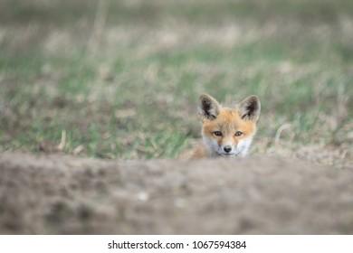 Fox Den Images Stock Photos Amp Vectors Shutterstock