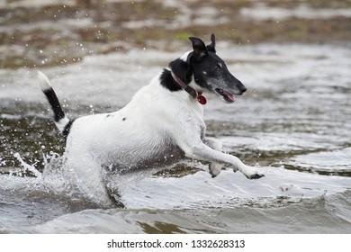 An adorable Fox Terrier bounds into the sea.