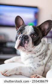Adorable French bulldog lying down at the TV
