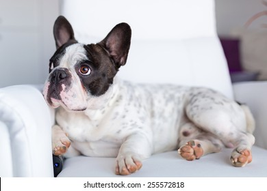 Adorable French bulldog lying down on the armchair