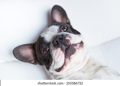 Adorable French bulldog lying down on the couch