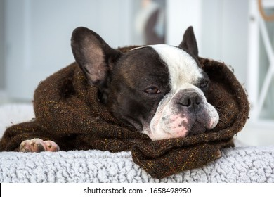Adorable french bulldog lying on his bed wrapped in a blanket