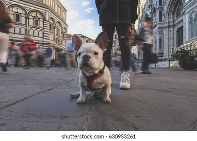 Adorable French Bulldog puppy seated and waiting to have a walk through the streets of Florence, Tuscany, Italy.